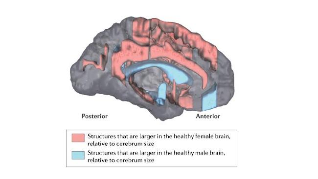 Brain Anatomy Function