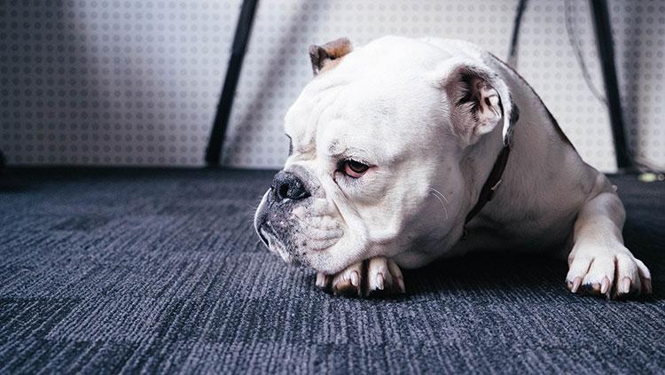 Resting Bulldog