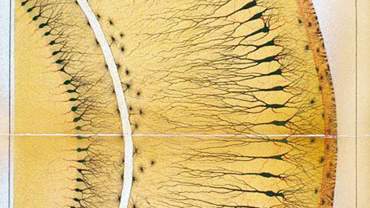 Hippocampus. Golgi, C. Sulla fina anatomia degli organi centrali del sistema nervoso. Reggio-Emilia: S. Calderini e Figlio; 1885. Reprinted in: On the fine structure of the pes Hippocampi major (with plates XIII–XXIII). Brain Research Bulletin, Vol. 54, No. 5, p. 481 (2001).