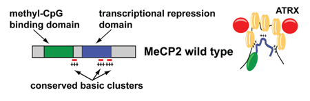 Function of MeCP2