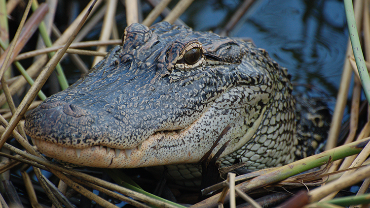 Alligator Study Supports Convergent Evolution of Spatial Hearing