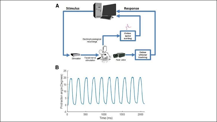 Experimental setup. A, Experimental scheme. B, Online tracking of a single whisker.