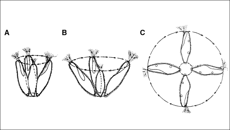 Schematic of the avoiding reaction as graded: swinging of the anterior end in a weak reaction (A), a strong reaction (B) and a very strong reaction (C).