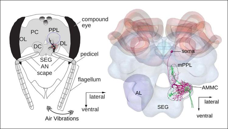 Honeybee brain development may enhance waggle dance communication