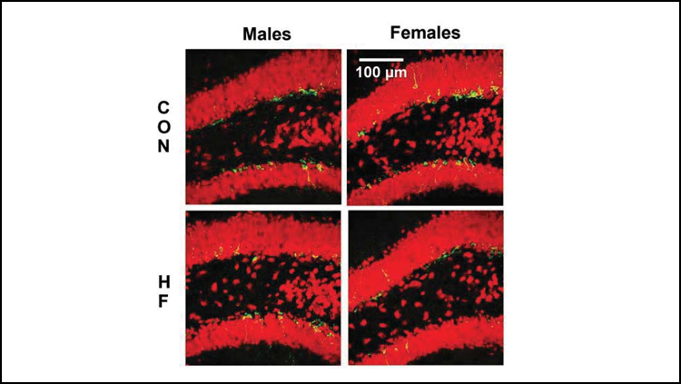 High fat diet impairs new neuron creation in female mice