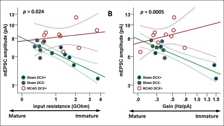 Stroke Produces Dysfunctional Brain Cells