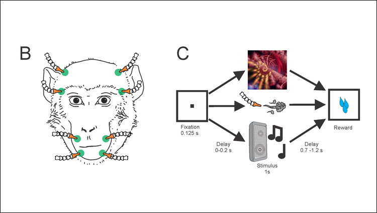 Multitasking Amygdala Neurons Respond to Sights, Sounds, and Touch