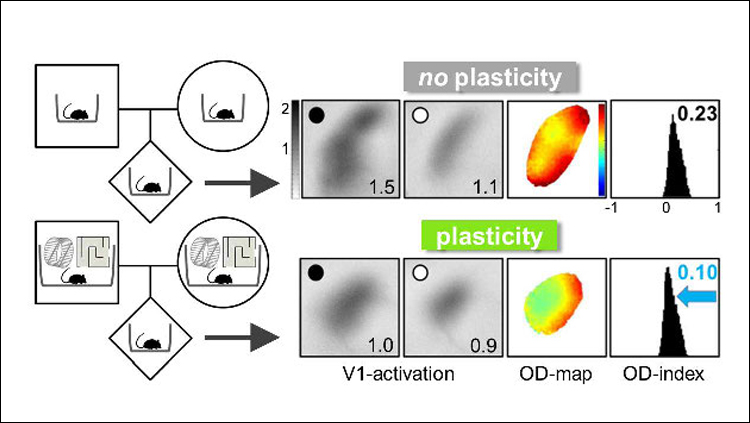 Ocular dominance (OD) plasticity in the visual cortex is maintained throughout life in offspring of mice raised in an enriched environment (bottom) compared to those raised in a standard cage (top). Adapted from Kalogeraki et al., 2019.