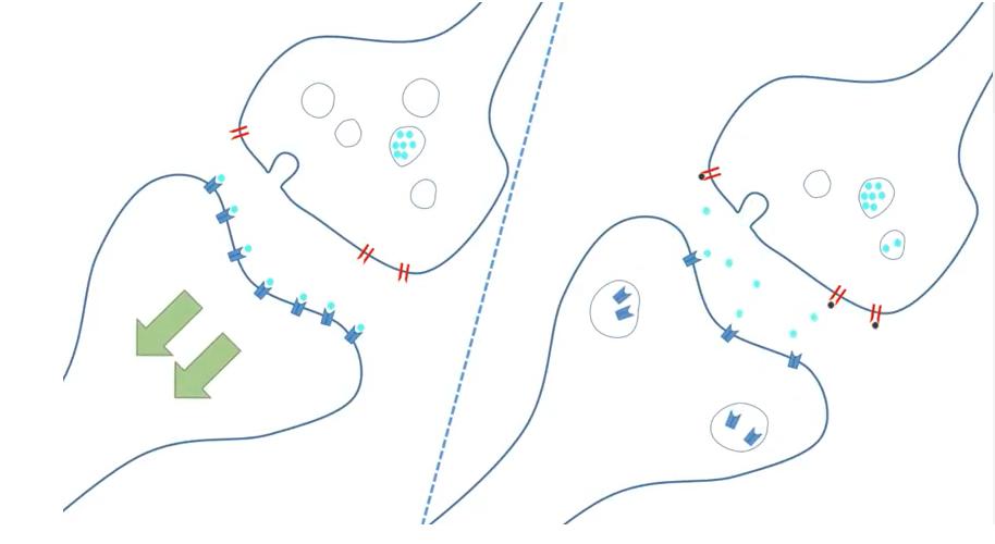 Image of dopamine receptors